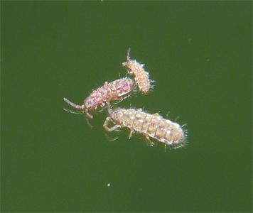 Isotoma delta? Springtail - Isotoma