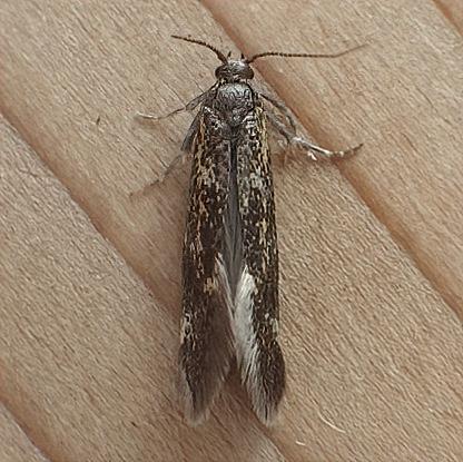 Prodoxidae: Greya enchrysa? - Greya