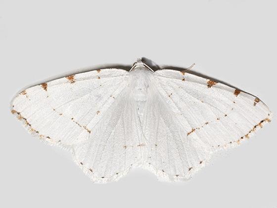 Lesser Maple Spanworm Moth - Hodges#6273 - Macaria pustularia - female