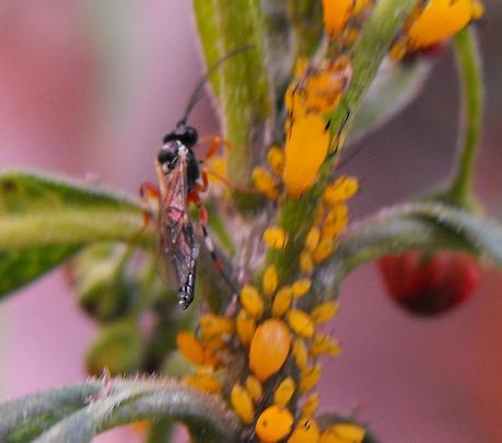 mystery wasp terrorizes aphid colony - Diplazon laetatorius