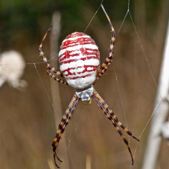 New Spider - Argiope trifasciata