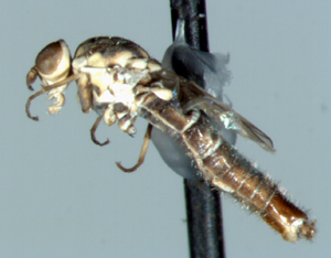 elongate colorful fly - Brevitrichia