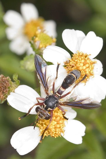Wasp-like fly - Physoconops excisus