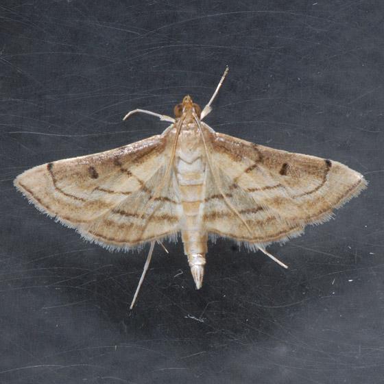 Cnaphalocrocis - Cnaphalocrocis cochrusalis