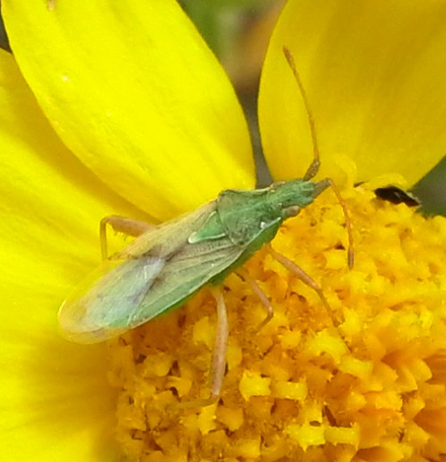 Green Insect on Perky Sue - Harmostes