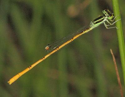 Citrine Forktail Damselfly - Ischnura hastata - male