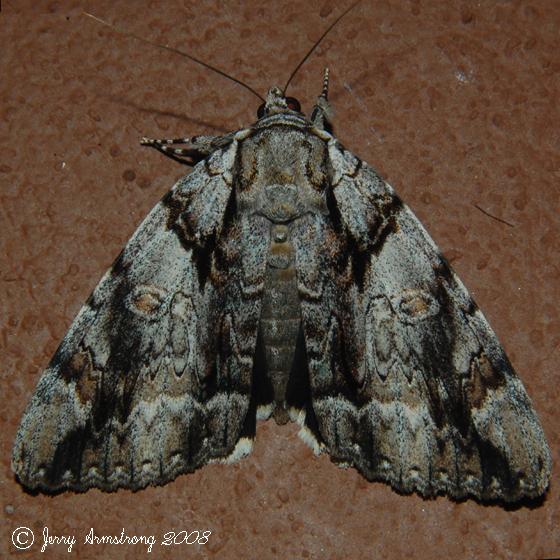 Underwing Moth - Catocala vidua