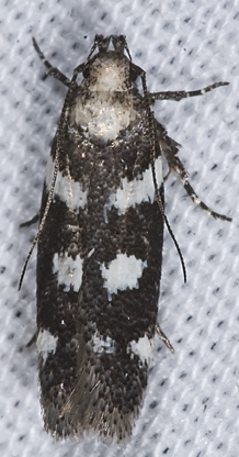 7008706 moth - Filatima arizonella