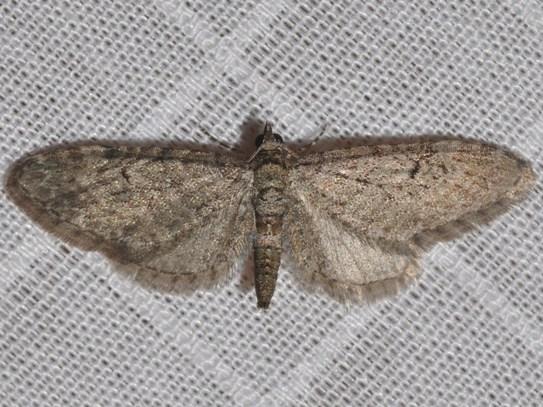 7474 - Eupithecia miserulata