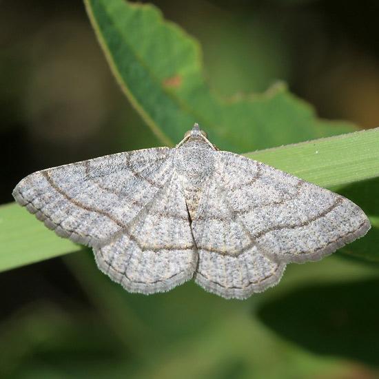 Moth - Digrammia ordinata