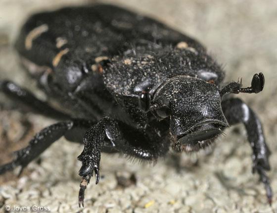 scarab - Cremastocheilus angularis