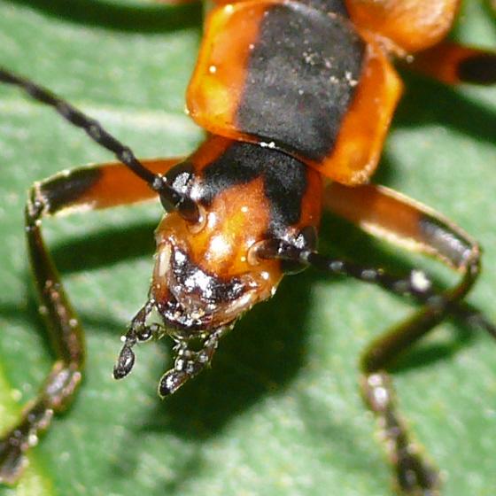 Soldier beetle - Chauliognathus marginatus