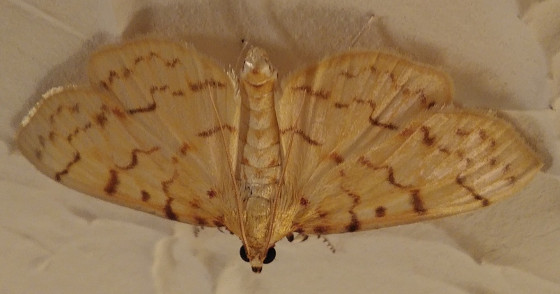 unknown moth - Polygrammodes flavidalis
