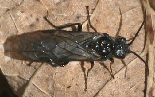 Sawfly? - Dolerus - female