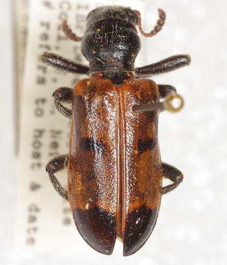 Aulicus edwardsii (Horn) - Aulicus edwardsii