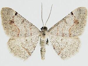 Digrammia yavapai - Hodges #6393 - Digrammia yavapai - male