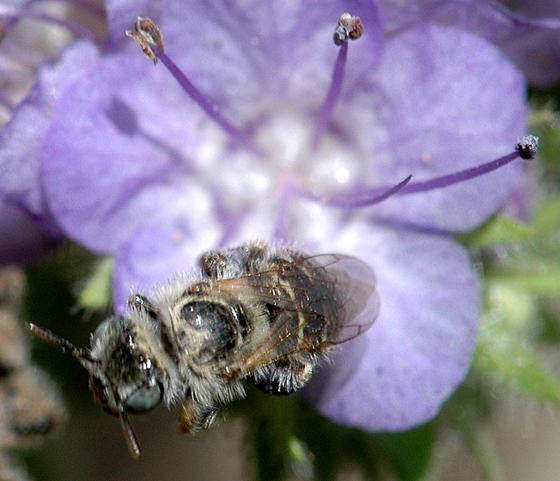 Small bee with big scopa - Calliopsis barbata - female