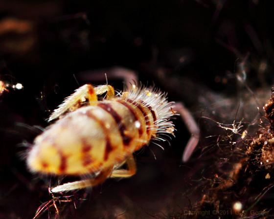 Hairy Orange and Brown Springtail - Entomobrya atrocincta