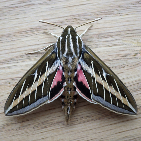 Sphingidae: White-lined Sphinx (Hyles lineata) - Hyles lineata