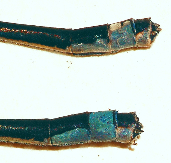Stream Bluet, 2 males and their claspers - Enallagma exsulans - male