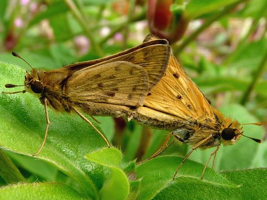 Pair of skippers - Hylephila phyleus - male - female