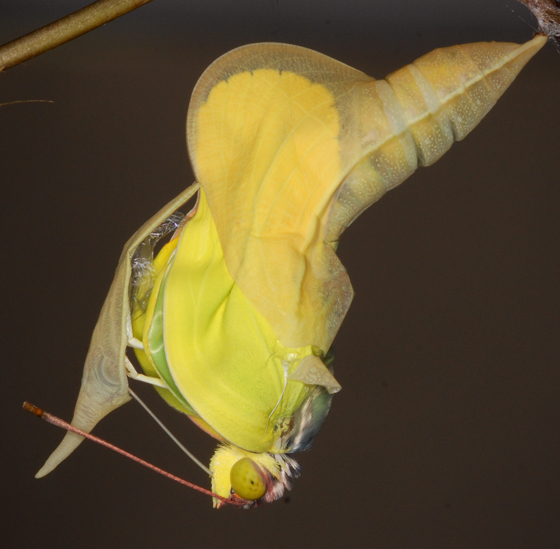 sulphur - Phoebis sennae