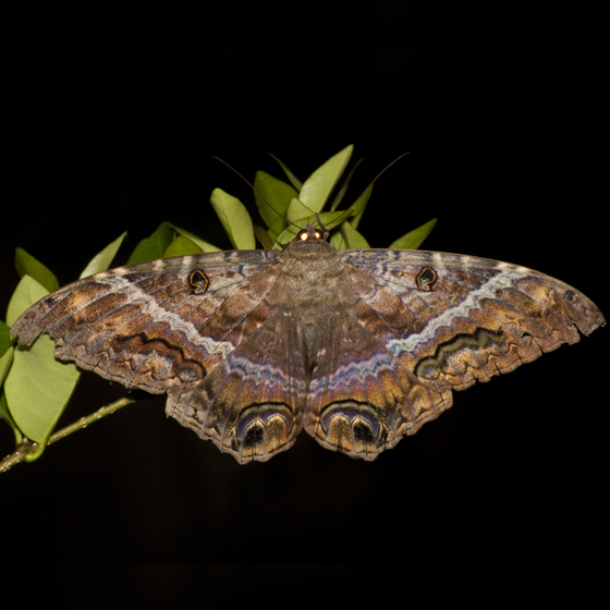 Black Witch Moth - Hodges #8649 - Ascalapha odorata - female