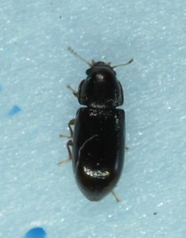 unknown beetle - Orthocis punctatus