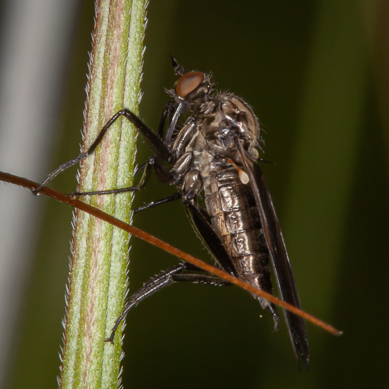 Dance Fly? - Rhamphomyia
