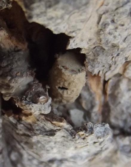 Parasitica, in mud nest