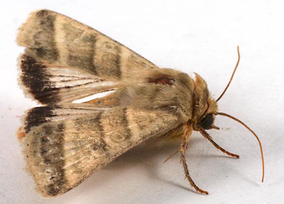Moth to blacklight - Chloridea virescens
