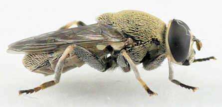 Myoleptini -?? - Myolepta cornellia - male