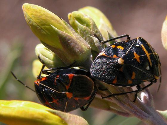 Murgantia histrionica - male - female