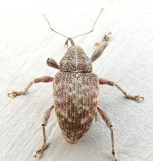 New Jersey Weevil for ID - Curculio
