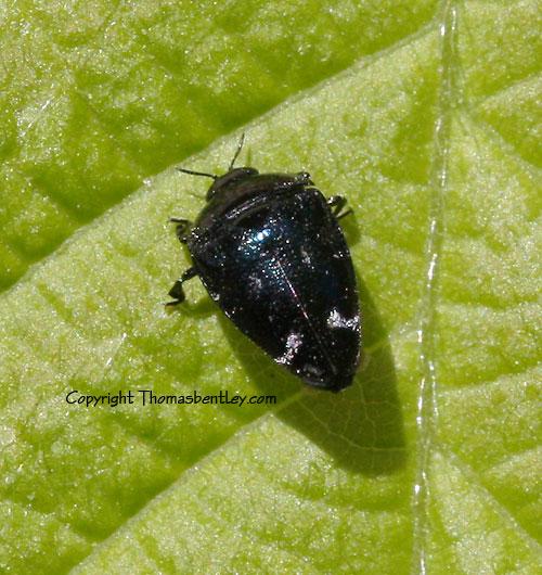 Beetle - Pachyschelus purpureus