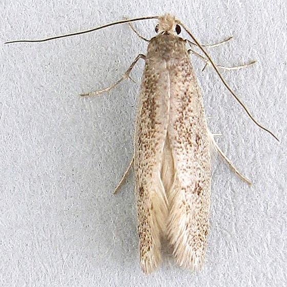 Clothes Moth - Tridentaforma