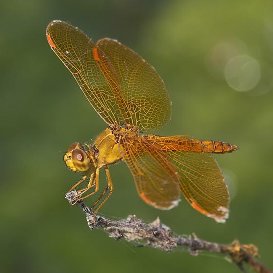 Mexican Amberwing (Perithemis intensa) - Perithemis intensa - male