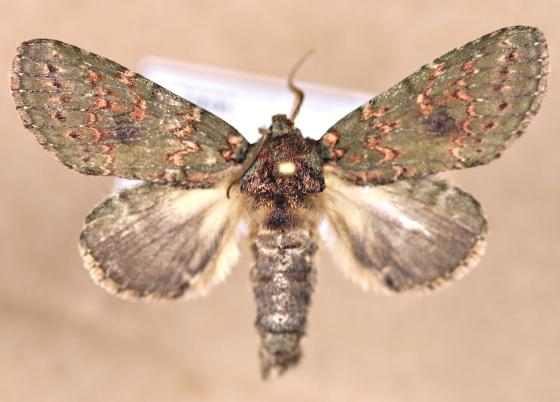 Kentucky Moth - Heterocampa biundata