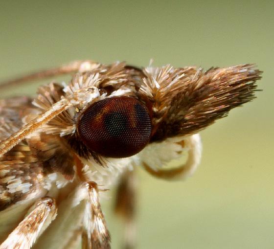 Moth ID - Eudonia heterosalis