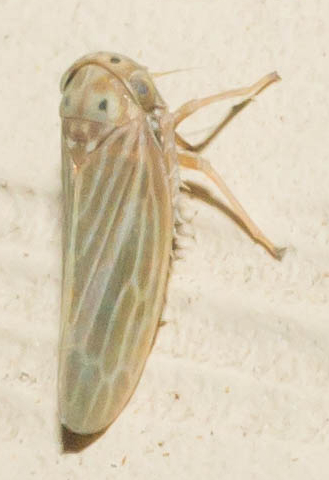 Four-spotted leafhopper - Agallia