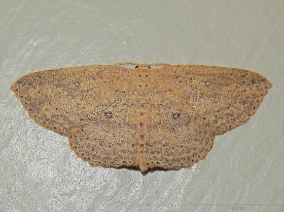Hodges #7137 - Waxmyrtle Wave Moth - Cyclophora myrtaria - male