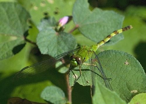 Great Pondhawk (Erythemis vesiculosa) Female? - Erythemis vesiculosa - female