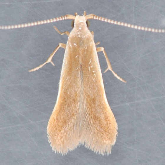 1291 Pecan Cigar Casebearer  - Coleophora laticornella
