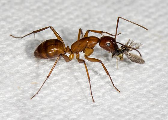 Ant with prey ID request - Camponotus castaneus