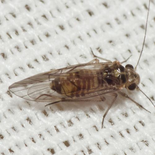 Common Barklouse - Blastopsocus lithinus