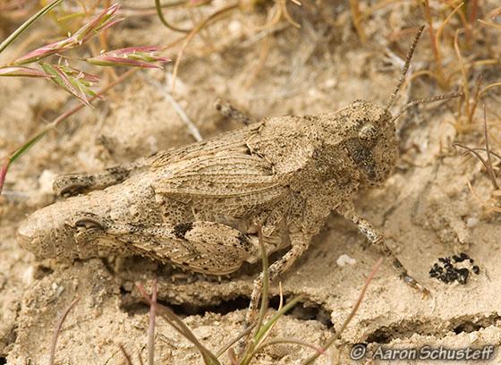 Unknown Acrididae 2 - Esselenia vanduzeei - female