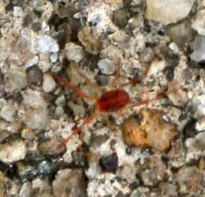 Spider [or Mite?] ID Request