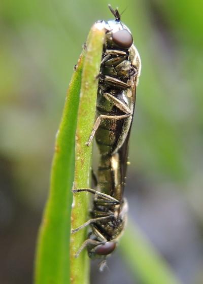 Fly 1 - Orthonevra - male - female