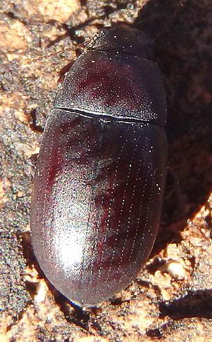 reddish darkling beetle