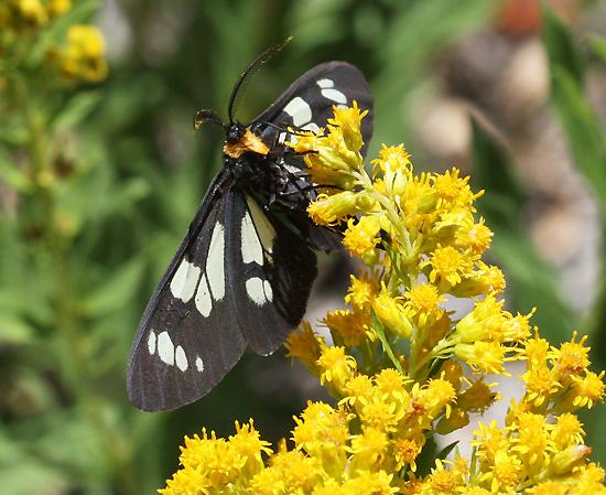 Black Moth on Goldenrod - Gnophaela latipennis